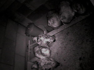The chicken feed cam shows all is well at night